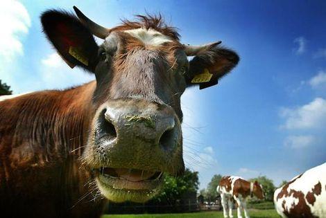 'Nederlands vee is hier niet meer welkom'